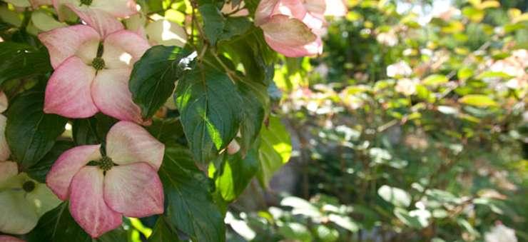 Schröer Garten- und Landschaftsbau Hortensien